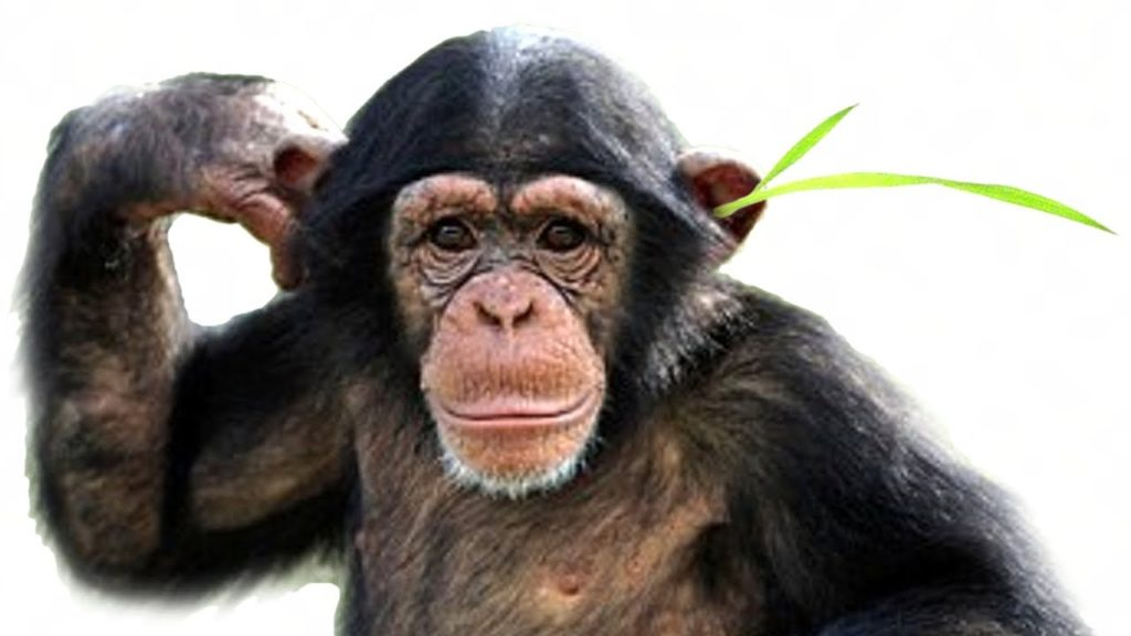 chimps grass in ear fashion trend