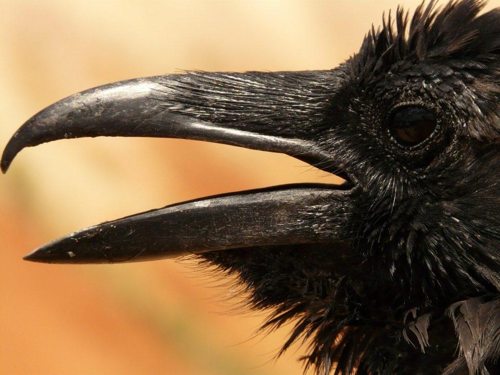 raven head