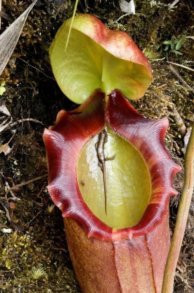 rat-eating plant